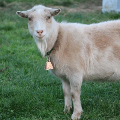 jackson the goat