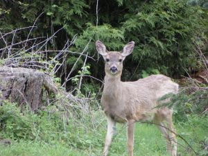Deer Stare, Pleasant Ridge B&B, La Conner