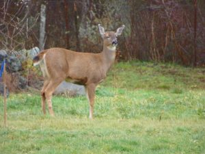 Deer Staring, Pleasant Ridge B&B, La Conner