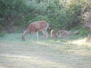 Doe with Fawns, Pleasant Ridge B&B, La Conner